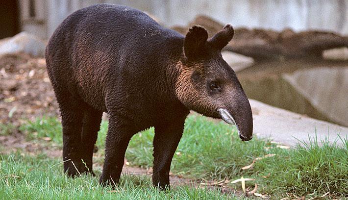 mountain_tapir